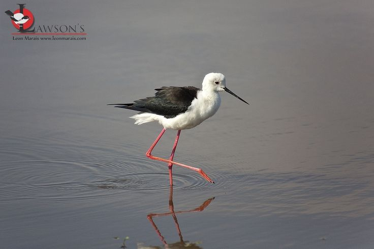 Black-winged Stilt, Kruger