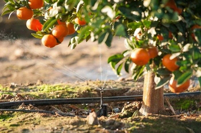Sunkist orange seed sms / wa 085777119992 line id : silkynazma