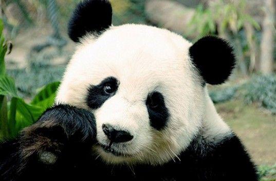 Забавные детеныши большой панды сорвали уборку в вольере (видео)