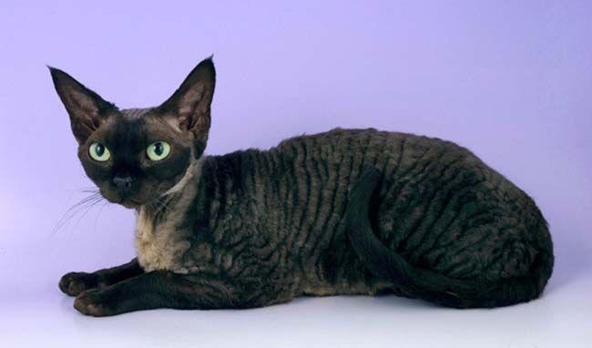 девон рекс - короткошерстные породы кошек с фото