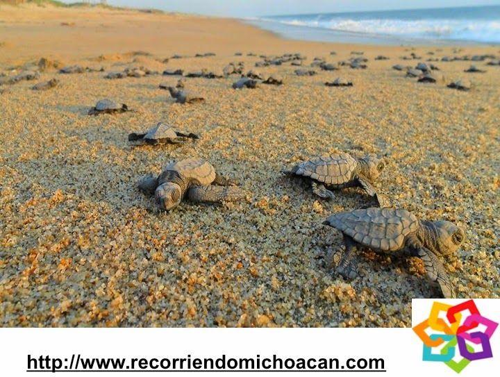 MICHOACÁN MÁGICO te informa que de las ocho especies de tortugas marinas que existen, cuatro  de ellas llegan a anidar año con año a las costas de Michoacán, estas son la tortuga Laúd, la Negra, la Golfina y la Carey. Esta es la zona mas importante del continente para la reproducción y desove de esta especie. HOTEL ALAMEDA http://www.hotel-alameda.com.mx/