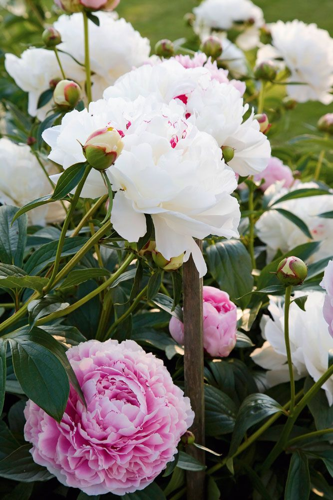 What's an ideal companion plant for white Peonies? More Peonies, of course! Try shades of pink.