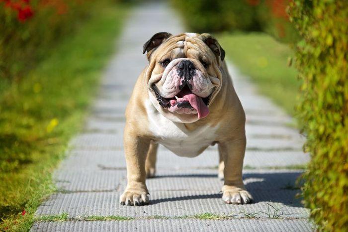 Anglický buldok - psí Churchill