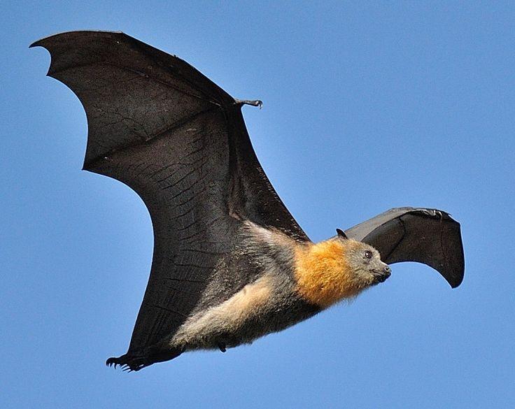 A raposa voadora é o maior morcego conhecido pelo homem, com uma envergadura que pode ter mais de um metro. A Austrália é o lar de quatro principais espécies de raposa voadoras, incluindo a vermelha-pequena, a preta, a cabeça-grisalha e raposa-voadora-de-óculos.
