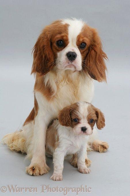 Fantastic Charles Spaniel Brown Adorable Dog - d24fce8b194cf4fce62dbf3a2dab7498--cavalier-king-charles-charles-spaniel  Pictures_285662  .jpg