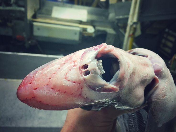 """Was aussieht wie der furchteinflößende Kiefer aus den """"Alien""""-Filmen von Regisseur Ridley Scott, ist tatsächlich wohl eine Chimärenart, auch Seekatzen genannt. Dieser Knorpelfisch (unten in der Draufsicht) ist mit Haien und Rochen verwandt. Zu der Gruppe gehört auch der Geisterhai."""