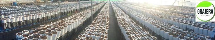 Plantación de Aguacates. Vivero de Planta de Aguacate.