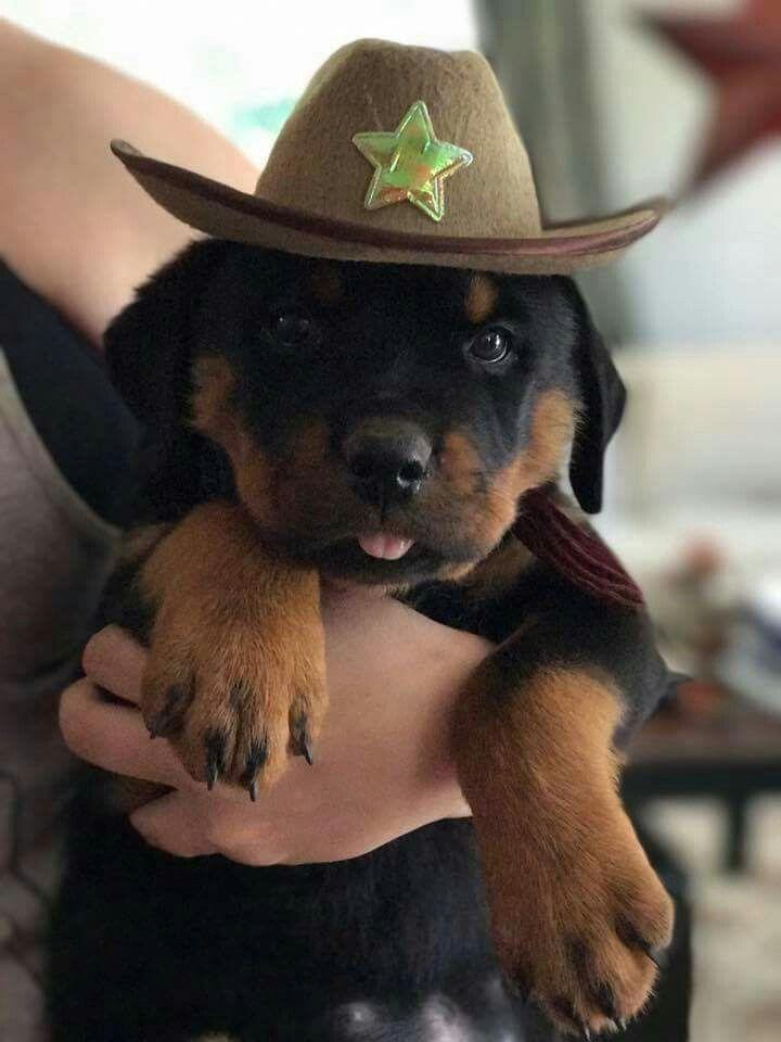 #chien #animal #Rottweiler