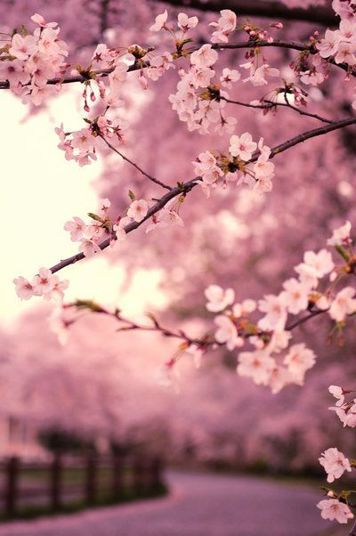 Japanese Cherry; I love the pinks & violets in this image.