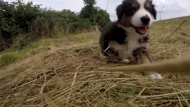 Puppies 7 weeks | Australian Shepherds | Youtube