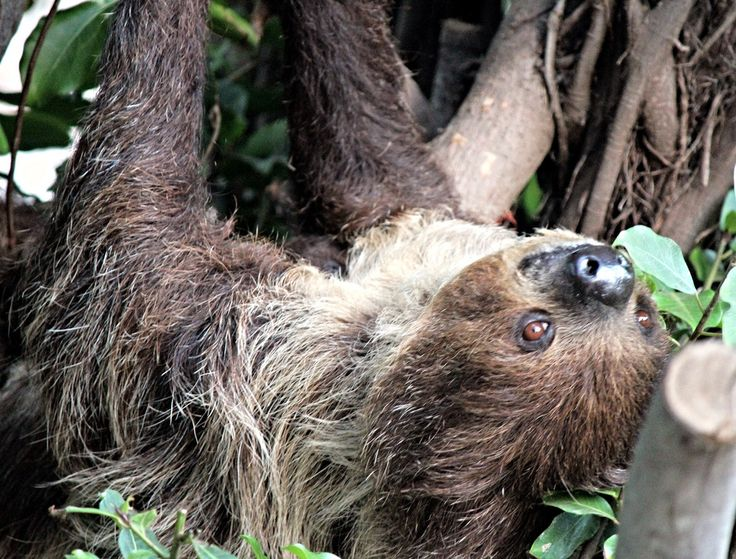 The sloth is the world's slowest mammal, so sedentary that algae grows on its furry coat. Sloths are identified by the number of long, prominent claws that they have on each front foot. There are both two-toed and three-toed sloths.  All sloths are built for life in the treetops. They spend nearly all of their time aloft, hanging from branches with a powerful grip aided by their long claws. (Dead sloths have been known to retain their grip and remain suspended from a branch.) Sloths even…