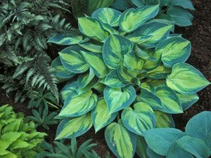 Hosta June is the crown jewel of the shade garden. This delightful drought tolerant shade groundcover easily beats out many other Hostas with its low mounding habit, slug-proof foliage, superior substance and lasting good looks from spring-fall. Beautiful chartreuse-gold centers are happily fused with a blue-green margins. Center turns gold as the season progresses.