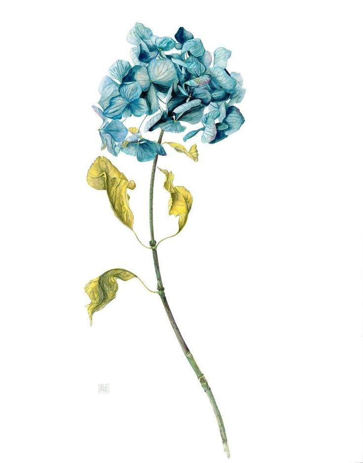 gael-sellwood-blue-hydragea-aquarelle