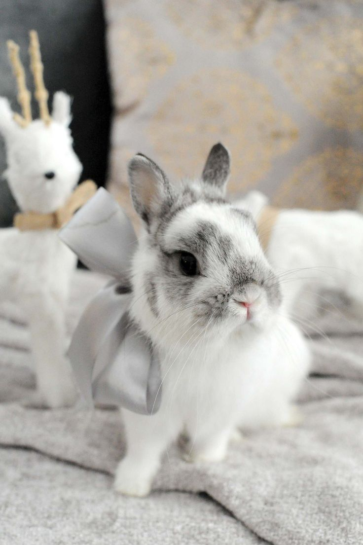 netherland dwarf rabbit, bunny, corduroy the bunny, broken chinchilla