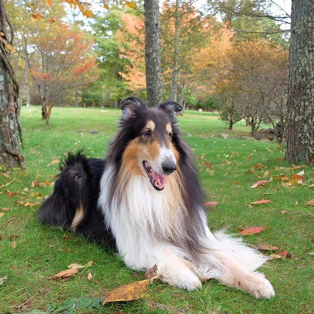 ろみた遊ばせてあげたいけど寒くて寒くて外にでれない #roughcollie#collie#dogphoto #dogstagram #doglover #ilovemydog #cute#dog#dogdays #ラフコリー#トライ#ろみた#愛犬#