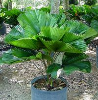 Ruffled fan palm. Licuala grandis is a very attractive, slow growing palm that can get up to 10ft tall, but usually doesn't get higher than 6ft with a spread of 5-10ft wide.