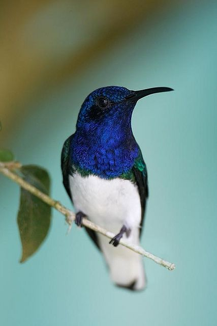 White-necked Jacobin male (a hummingbird) by silverbeardhow*