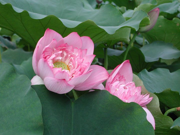 Pink lotus flower, at a little park in Macau - Holiday to Hong Kong, Macau & Guangzhou, China. Photos by Tamara Desiatov 2006.
