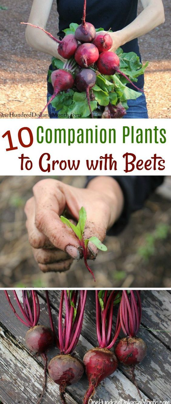 10 Companion Plants To Grow With Beets With Images 400 x 300