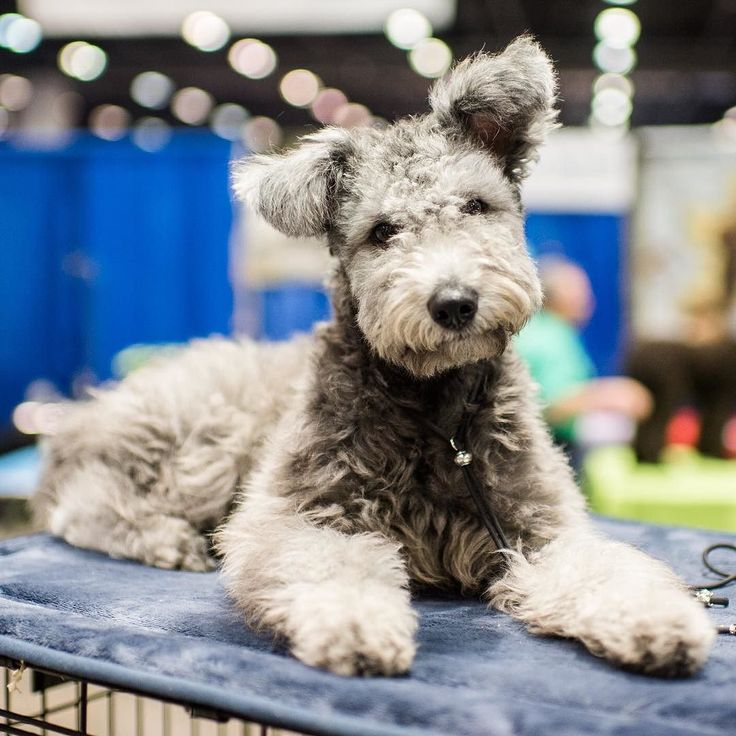 """Csobanka Pumi (6 m/o) 2015 AENC Dog Show Orlando FL  """"She curls up her side lip when she smiles like Elvis."""" by thedogist"""