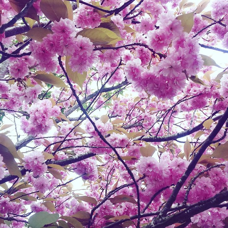 My favourite part of #spring   #cherryblossom #sakura #pink #pretty