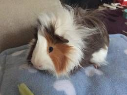 Male Guinea Pig available for adoption. He is almost 3 year's old , and he came The Ark Guinea Rescue after not getting on with the herd of 9 that he ...