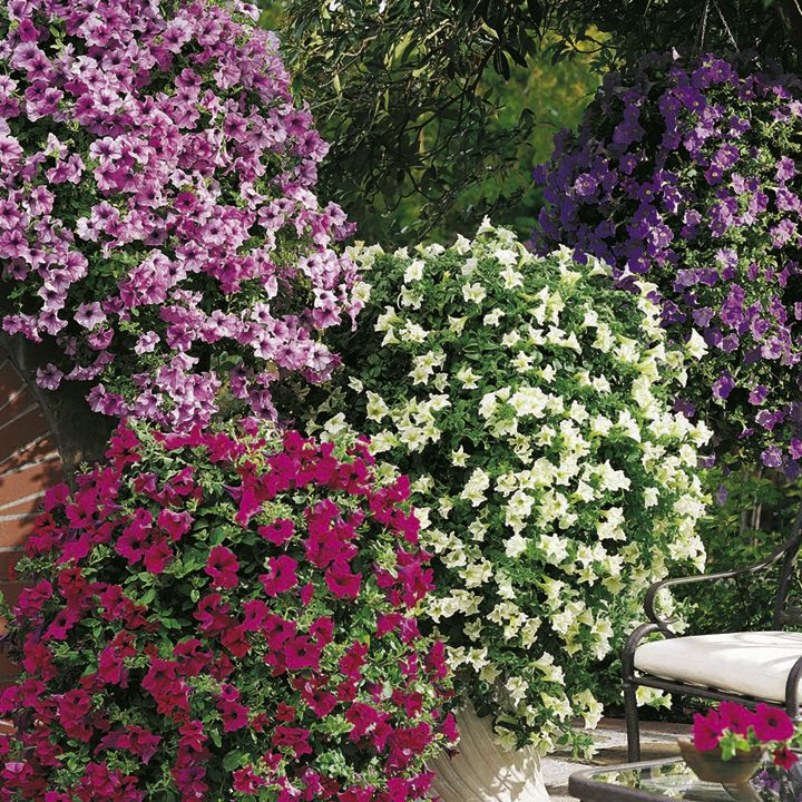 Petunia surfinia plants large flowered mix hanging for Surfinia balcone