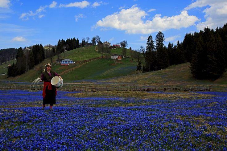 Trabzon yayla mavi yıldız çiçekleri