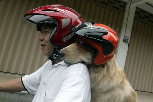 An Ace up his collar: Indonesian retiree Handoko Njotokusumo and his golden retriever Ace zip through traffic during a weekend motorcycle ride in Surabaya, Java.Photo: Juni Kriswanto, AFP/Getty Images