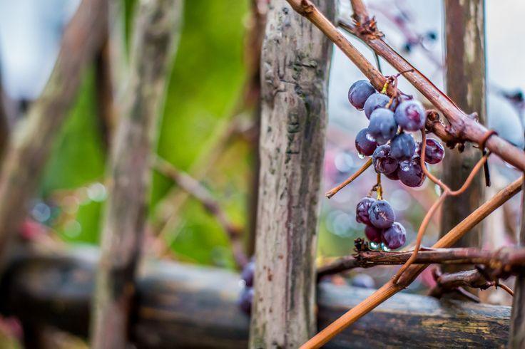 #autumn #nature #grape #grapes #naturelovers #naturephotography