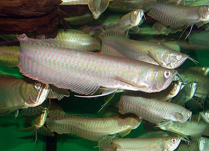 Silver Arowana | Freshwater Aquarium Fish for Sale | Arizona Aquatic Gardens