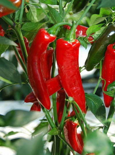 Chilli Pepper Superchilli: One of the best chillies for pots! It's a Thai type and is easy to grow, reaching a height of 18-24in and yielding a bumper crop of hot bright red fruit. Use them in Thai dishes or wherever you need some heat!