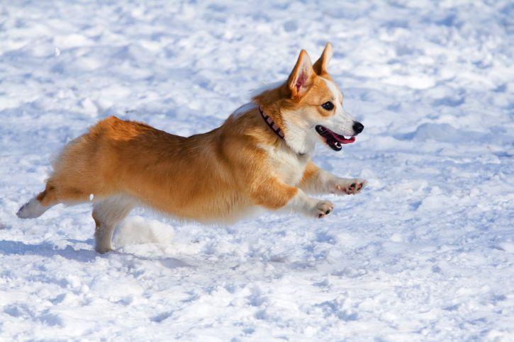 Порода собак вельш-корги - сильный, умный, энергичный друг  Смотри больше http://kot-pes.com/poroda-sobak-velsh-korgi-silnyj-umnyj-energichnyj-drug/
