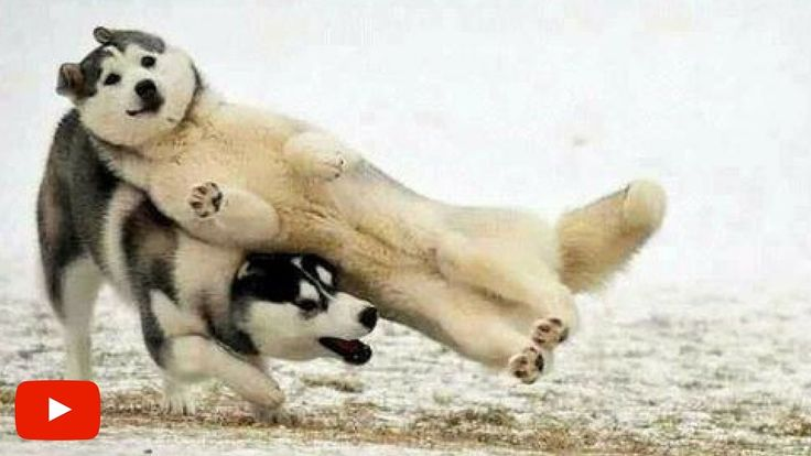 Anjing Lucu Yang Lupa Caranya Jadi Anjing | Video Hewan Lucu & Gokil Bik...