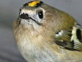 [embed=videolink][/embed][embed=videolink][/embed]Muy pequeña ave en Europa es el reyezuelo sencillo (en latín - Regulus regulus), que se puede encontrar en los bosques de muchos países europeos. Por su tamaño es similar al de las naranjas rojo sangre un poco más grandes y el comprimido Curruca Wren. Es especialmente brillante franja amarilla que e...