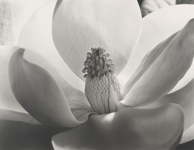 Magnolia Blossom, 1925, by Imogen Cunningham