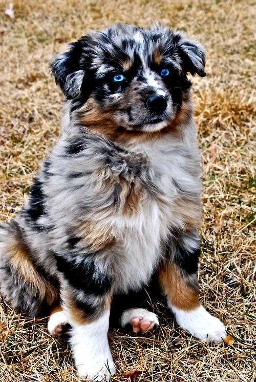 Adorable Australian Shepherd