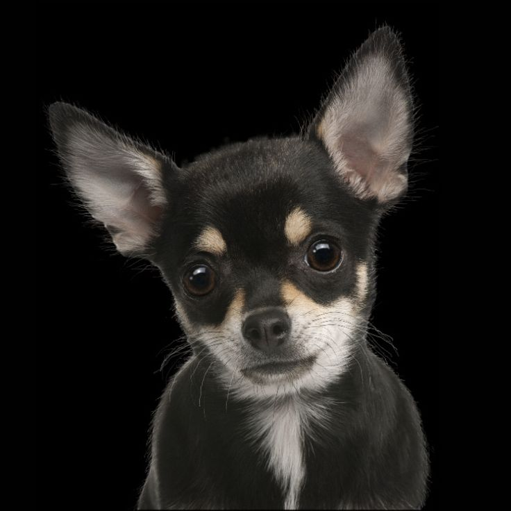 Best 25 Black chihuahua ideas on Pinterest Chiwawa