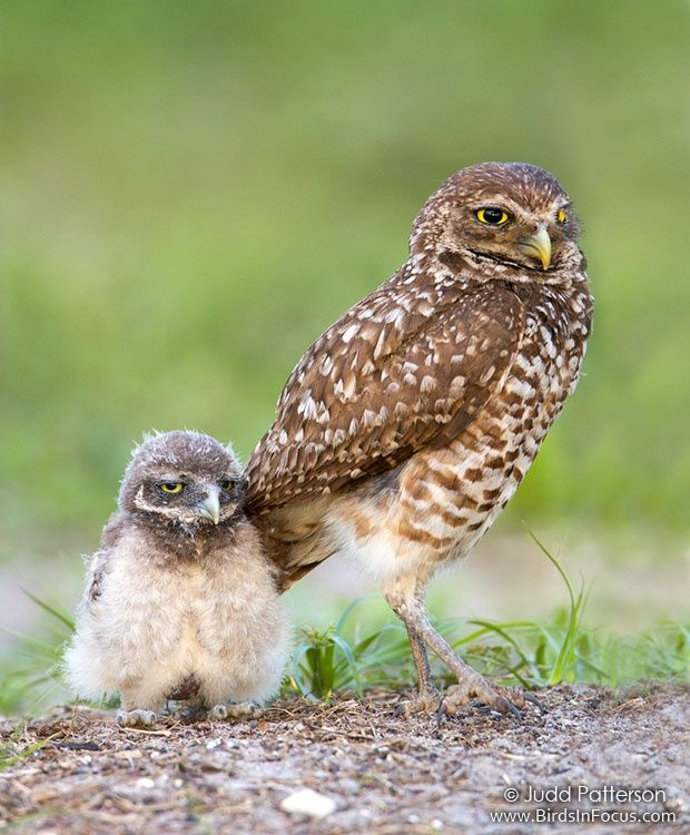 218 best images about Burrowing owl on Pinterest | Raptors ...