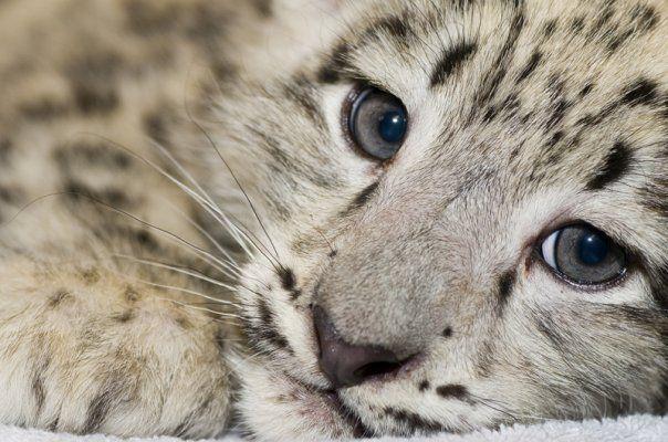 Snow Leopard....beautiful.