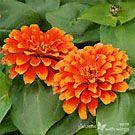 Zinnia (Zinnia elegans) Nectar plant
