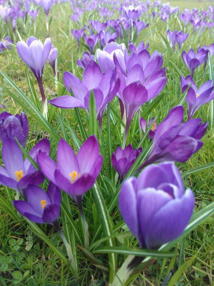 Paarse krokussen --> Voorjaar