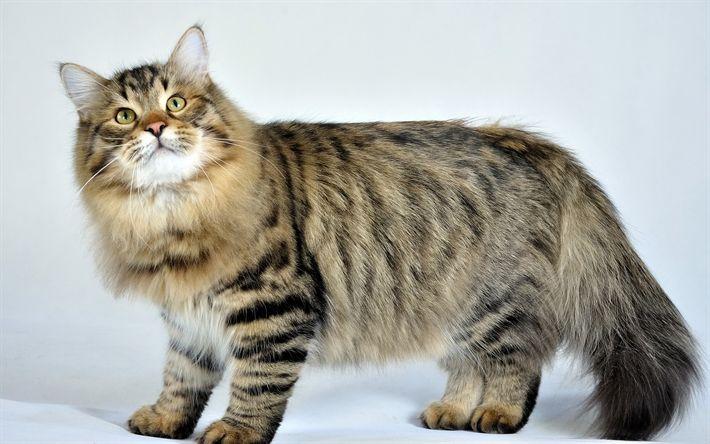 Hämta bilder Sibirisk Katt, 4K, päls grå katt, husdjur, söta djur, huskatt