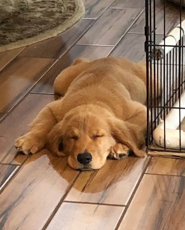 Ill Be Sleeping In For The Weekend Retriever Puppy Golden
