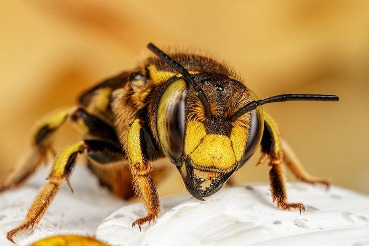 Wool Carder Bee [5472x3648 [OC]