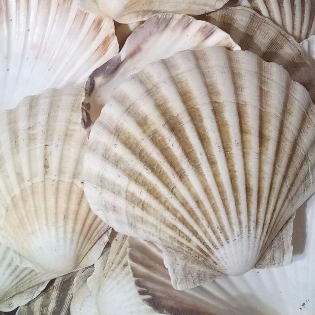 10 x Large Natural Scallop Shells