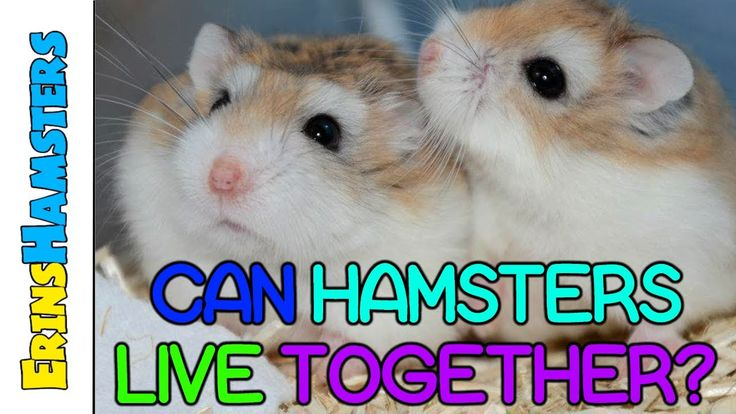 Can Hamsters Live Together? Some pets need to have both sexes (ie Ferret) where as others can live totally alone.