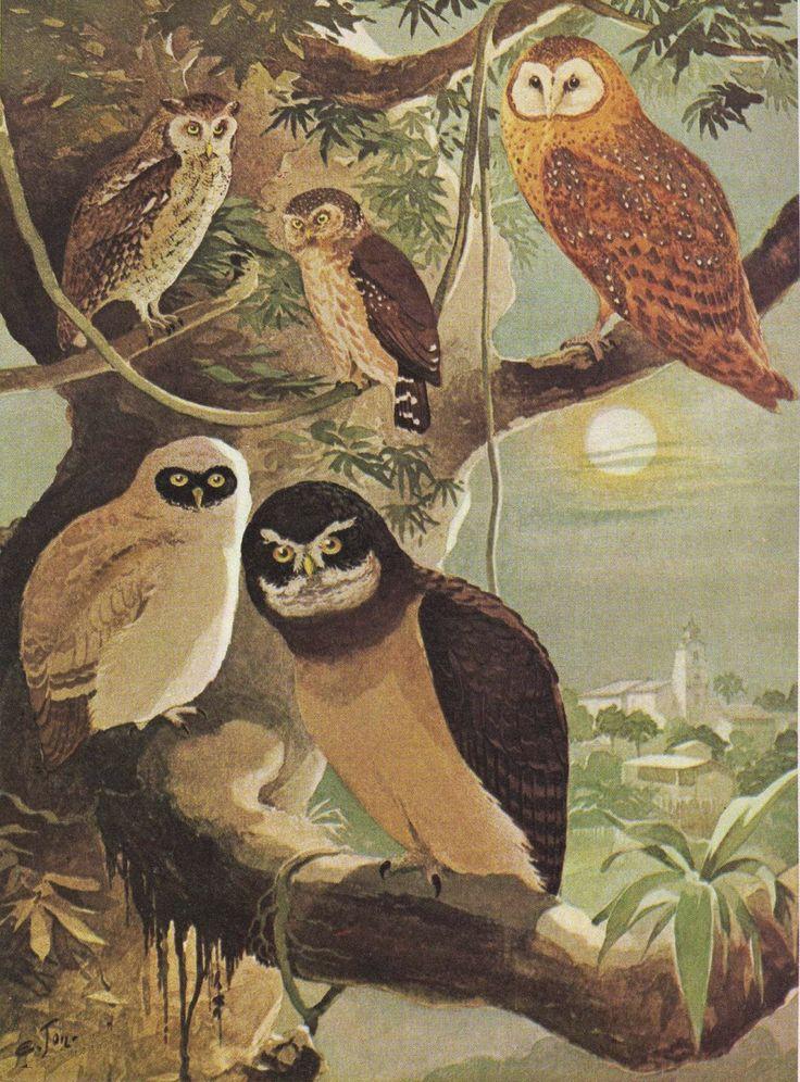"""Olímpia Reis Resque: Lendas e Curiosidades: """"Quinhentos pássaros, quinh... Ilustração de Ernst Lohse em Álbum de Aves Amazônicas (1900-1906)."""