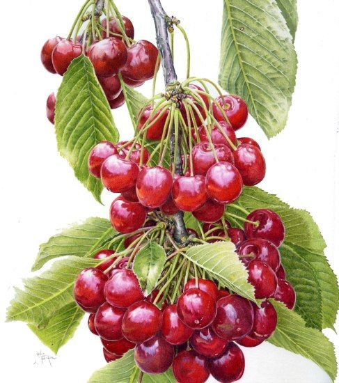 "Karen Kluglein Botanical | Janie Pirie ""Cascading Cherries"" Illustration"
