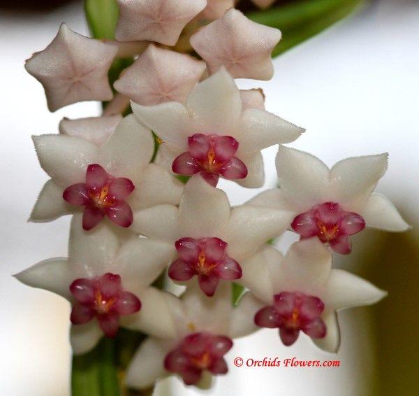Hoya Bella Vine --looks like wax, & smells of cirtrus & spice <3